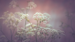 Cow parsley (Dhina A) Tags: sony a7rii ilce7rm2 a7r2 a7r 135mm f28 t45 stf sony135mmf28stf sal135f28 smoothtransitionfocus minolta smooth soft silky bokeh bokehlicious apodization cow parsley flower