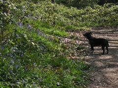 P1430336 (businessofferrets) Tags: stella dog staffy rspcarescuedog silkstoneravine