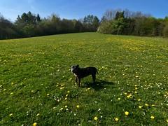 P1430345 (businessofferrets) Tags: birleyspa stella dog staffy rspcarescuedog