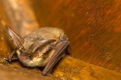 I am the night. I am the terror...to moths (Javier Ábalos) Tags: plecotus auritus brown longeared bat murcielago orejudo dorado oreja ecolocalización echolocalization fluffy macro peludo quiroptero chiroptera insectivorous moths spring spain guadarrama