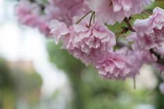 _1011200.jpg (plasticskin2001) Tags: flower sakura micronikkor f28s ai 55mm