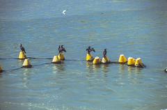 Centre d'ostréiculture, golfe du Morbihan (jacqueline.poggi) Tags: bretagne france morbihan pénerf bird cormoran cormorant golfedumorbihan huître oiseau ornithologie ornithology ostreiculture ostréiculture