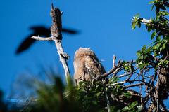 untitled-53998.jpg (dialaspc) Tags: owlraptorbirdft desoto