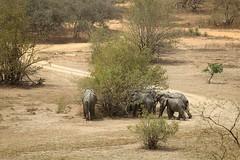 Savanna elephants Mole National Park, Ghana (inyathi) Tags: africa westafrica ghana africananimals africanwildlife africanelephants savannaelephants loxodontaafricana molenationalpark molemotel nationalpark nationalparks