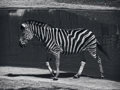 zebra_zoo_BRNO_BW (ladic_1) Tags: panasonic dmcfz50 zebra brno zoo animal animals black white photo picture
