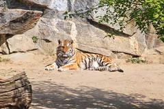 20.04.2019 12-13-5300 (TheFan1968) Tags: berlin tierpark friedrichsfelde tier tiger katze