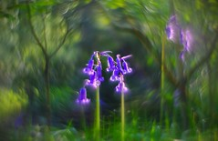 . . . bluebell bokeh (orangecapri) Tags: orangecapri sliderssunday hss helios442 modified bluebell bokeh woodland bluebells flowers plants vintagelens bubblebokeh bubbles manuallens xt2 swirl trees leaves green blue