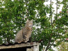 April 17th, 2019 Willow Meow Mau (karenblakeman) Tags: cavershamgarden caversham uk cat tabby willowmeowmau shedroof tree april 2019pad 2019 reading berkshire
