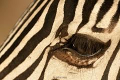 Plains Zebra (Equus quagga) (Jeffrey Jang Photography) Tags: plainszebra commonzebra burchellszebra equusquagga ngorongoroconservationarea tanzania animal mammal nature naturephotography nikon ungulate wildlife wildlifephotography zebra jeff jeffrey jang jeffreyjangphotography m349962018