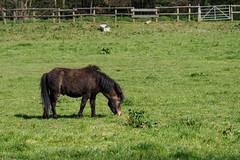 Horse in Field-F4190051 (tony.rummery) Tags: animal em5mkii field foal horse mft microfourthirds omd olympus surrey young woking england unitedkingdom