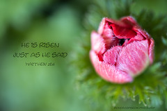 Happy Easter (RondaKimbrow) Tags: easter spring quote inspirational flower floral bud heisrisen jesushasrisen blessed