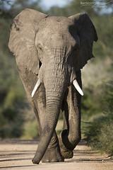 African Elephant - Kruger National Park (BenSMontgomery) Tags: african elephant kruger national park road stand off skukuza marula loop