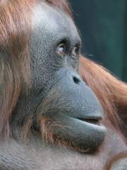 Théodora (4) (Mhln) Tags: ménagerie zoo zoologique parc park paris france 2019 animaux sauvages préservation orangoutan orangsoutans