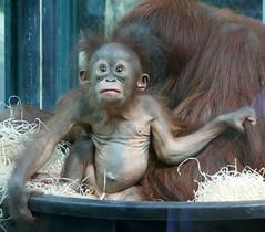 Théodora et Java (4) (Mhln) Tags: ménagerie zoo zoologique parc park paris france 2019 animaux sauvages préservation orangoutan orangsoutans