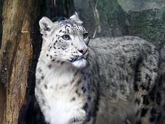 Panthère des neiges (2) (Mhln) Tags: ménagerie zoo zoologique parc park paris france 2019 animaux sauvages préservation