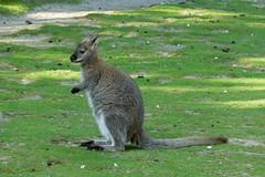 Wallaby de Bennett (3) (Mhln) Tags: ménagerie zoo zoologique parc park paris france 2019 animaux sauvages préservation