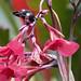 Green Thorntail, Discosura conversii female Ascanio_Best Costa Rica 199A8975