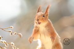 close up of red squirrel reaching with flower willow branches (Geert Weggen) Tags: animal backlit bright closeup cute vertical humor mammal nature passion red rodent squirrel sun sweden old tree branch walk run spring eastertree flower yellow willow openmouth bispgården jämtland geert weggen ragunda hardeko