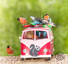 red squirrel sitting in a camping bus with bullfinch on roof (Geert Weggen) Tags: mammal rodent squirrel nature animal red flower closeup cute funny happy summer look tender love redsquirrel backgrounds colorimage environment nopeople photography volkswagen bus retrostyled hippie minivan oldfashioned vanvehicle camping car collectorscar driving landvehicle outdoors stationwagon transportation ride road acorn nut food bir finch bullfinch male geert weggen sweden jämtland ragunda bispgården hardeko
