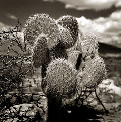 Prickly Pear Cactus (Robert_Brown [bracketed]) Tags: robertbrown thesilvercityphotographer photograph photography photo blackandwhite film hasselblad trix pricklypear cactus deming newmexico nm ponyhills