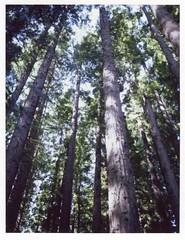 Stand Tall (mortiemctavern) Tags: polaroid instant film roid week polaroidweek spring april 2019 day1 trees type100 polaroid180 peelapart
