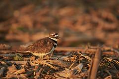 Killdeer (chmptr) Tags: oiseau aquatique killdeer animalier animal wildlife bird gravelot