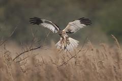 Male Marsh Harrier (Chris Bainbridge1) Tags: circus aeruginosus malemarshharrier norfolk