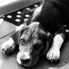 To be Frank ... (Liane_M_S) Tags: pup beagle iphoneography monochrome blackandwhite
