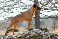 190421 (Jacob L('U)) Tags: rhodesian ridgeback dog pet animal nikon sigma 150600 zoom super telezoom nature landscape sweden