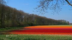 In the beginning of a tulip field (katrinchen59) Tags: tulips tulipfield landscape landscapephotogrtaphy springflowers naturephotography tulpen tulpenfeld landschaft landschaftsfotografie frühlingsblumen naturfotografie duchtlandscape holland thenetherlands colorful tulpenveld noordoostpolder