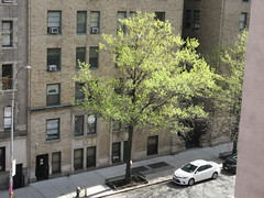 Easter Morning Green Spring Leaves on Tree 6665 (Brechtbug) Tags: easter morning green spring leaves tree 45th street between 8th 9th avenues looking out front window nyc 04212019 small shadow weather car parking lot hell s kitchen clinton new york city midtown manhattan 2019 leaf growing sunlight