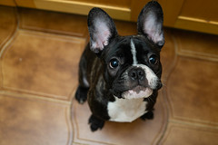 Augusto 20190420 (Jorge Letria) Tags: bulldog frenchie dogs pet puppy animals