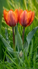 2019_04_chanticleer_tulips_7219 (PattyHankins) Tags: chanticleer tulips