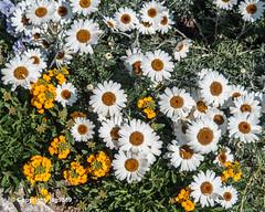 Spring Flowers, Weggis, Canton of Lucerne, Switzerland (jag9889) Tags: 2019 20190419 6353 bloom ch cantonlucerne cantonoflucerne centralswitzerland europe flower helvetia innerschweiz kantonluzern lu lucerne luzern outdoor schweiz spring suisse suiza suizra svizzera swiss switzerland weggis wäggis zentralschweiz jag9889