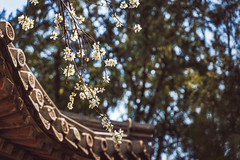 Beijing Blooms (Clint Everett) Tags: spring blossoms blooms flowering tree china beijing bokeh nature