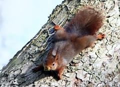 Squirrel Girl (Ger Bosma) Tags: 2mg288314 eekhoorn rodeeekhoorn gewoneeekhoorn sciurusvulgaris redsquirrel squirrel eichhörnchen ardillaroja écureuilroux scoiattolocomune tree camouflage