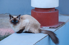The eyes of blue (ezhikoff) Tags: animal cat