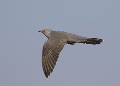 Common Cuckoo (cuculus canorus) (Steve Ashton Wildlife Images) Tags: cuculus canorus cuculuscanorus common cuckoo commoncuckoo