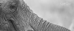 Smile (Justin.Stevens) Tags: elephant blackandwhite safari africa