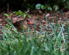 (crfleury) Tags: crfleury 2019 7d canon tamron 150600f5663vcg2 nature wildlife raleigh nc bird cardinal