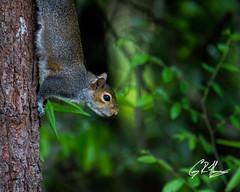 (crfleury) Tags: crfleury 2019 7d canon tamron 150600f5663vcg2 nature wildlife raleigh nc squirrel