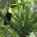 Yellow-throated Toucan, Ramphastos ambiguus Ascanio_Best Costa Rica 199A9387
