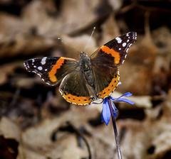Sip Stop (Portraying Life, LLC) Tags: cropapsc da3004 hd14tc k1mkii michigan pentax ricoh topazaiclear unitedstates butterfly closecrop handheld nativelighting migration migrant