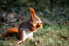 20190217_13.15.27-Wildlife-Leipzig (axel.fink) Tags: eichhörnchen haustier kaninchen nagetier pflanzenfresser säugetier tier ungesättigt grau