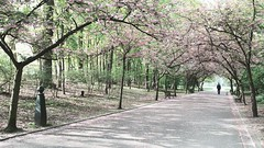 spring (frax[be]) Tags: park cherrytree cherryblossom streetphotography landscape springtime 16mm fuji outdoor