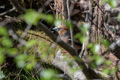 Male Hawfinch (Gareth Keevil) Tags: bird birds detail finch garethkeevil gloucestershire hawfinch hotday malehawfinch nikon nikon500mm nikond500 rspb spring sunshine telephoto thirsty thirstybird uk wild