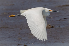Snowy Egret fly-by (tresed47) Tags: 2019 201904apr 20190410bombayhookbirds birds bombayhook canon7dmkii content delaware egret folder peterscamera petersphotos places season snowyegret spring takenby us