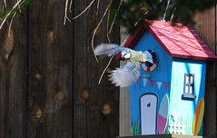blue tit box 3 (marlesghillie) Tags: bluetit nestbox rspb gardenbirds nature spring