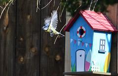 blue tit box 5 (marlesghillie) Tags: bluetit nestbox rspb gardenbirds nature spring
