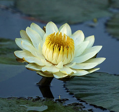 Water lily - Delta of Okavango – Botswana (lotusblancphotography) Tags: africa afrique botswana deltaokavango water eau nature plant plante flower fleur waterlily reflection reflet